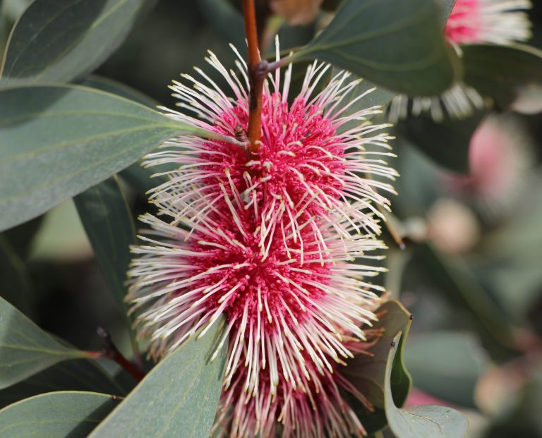 Hakea 'Pin Ball'