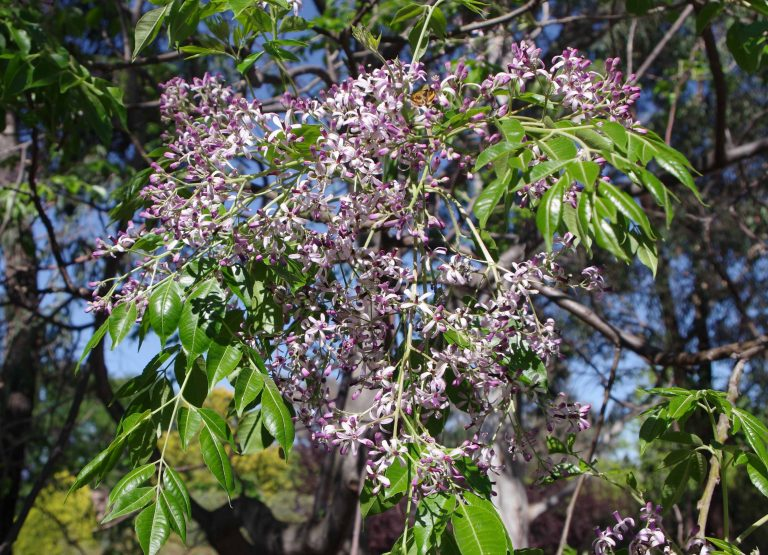 Melia azederach  - White Cedar